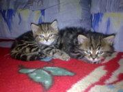 продам - британских короткошерстных котят