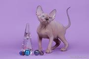 Гоячие душой и телом котята породы канадский сфинкс.