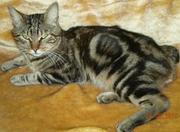Продам кота - Курильского бобтейла